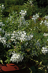 Carita Cascade White Angelonia (Angelonia angustifolia 'Carita Cascade White') at Roger's Gardens