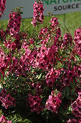 Carita Raspberry Angelonia (Angelonia angustifolia 'Carita Raspberry') at Roger's Gardens