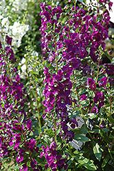 Adessa Purple Angelonia (Angelonia angustifolia 'Adessa Purple') at Roger's Gardens
