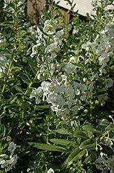 Adessa White Angelonia (Angelonia angustifolia 'Adessa White') at Roger's Gardens