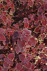 Garnet Robe Coleus (Solenostemon scutellarioides 'Garnet Robe') at Roger's Gardens
