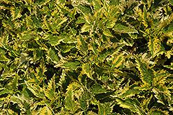 Floricolor Sandstone Coleus (Solenostemon scutellarioides 'Sandstone') at Roger's Gardens