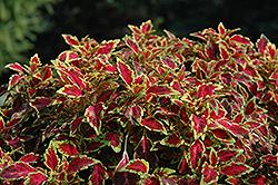 Aurora Black Cherry Coleus (Solenostemon scutellarioides 'Aurora Black Cherry') at Roger's Gardens