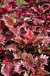 Florida Sun Rose Coleus (Solenostemon scutellarioides 'Florida Sun Rose') at Roger's Gardens