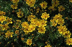 Yellow Sunshine Bidens (Bidens ferulifolia 'Yellow Sunshine') at Roger's Gardens