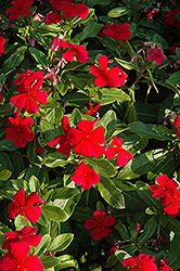 Titan Dark Red Vinca (Catharanthus roseus 'Titan Dark Red') at Roger's Gardens
