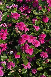 Titan Lilac Vinca (Catharanthus roseus 'Titan Lilac') at Roger's Gardens