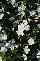 Titan Pure White Vinca (Catharanthus roseus 'Titan Pure White') at Roger's Gardens