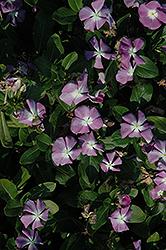 Titan Lavender Blue Halo Vinca (Catharanthus roseus 'Titan Lavender Blue Halo') at Roger's Gardens