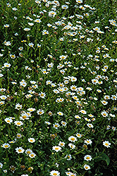 Snowland Chrysanthemum (Chrysanthemum paludosum 'Snowland') at Roger's Gardens