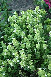 Boxwood Basil (Ocimum basilicum 'Boxwood') at Roger's Gardens