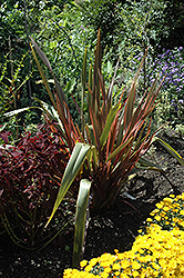 Sundowner New Zealand Flax (Phormium 'Sundowner') at Roger's Gardens