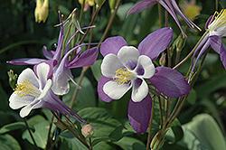 McKana Purple Columbine (Aquilegia 'McKana Purple') at Roger's Gardens