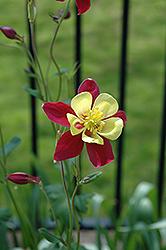 McKana Red and Yellow Columbine (Aquilegia 'McKana Red and Yellow') at Roger's Gardens