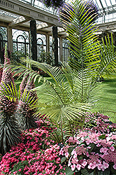 Majesty Palm (Ravenea rivularis) at Roger's Gardens