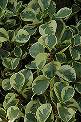Variegated Baby Rubber Plant (Peperomia obtusifolia 'Variegata') at Roger's Gardens