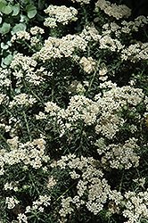 Radiance Rice Flower (Ozothamnus diosmifolius 'Radiance') at Roger's Gardens