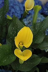 Gold Rush Calla Lily (Zantedeschia 'Gold Rush') at Roger's Gardens