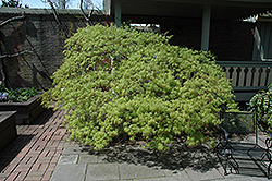 Waterfall Japanese Maple (Acer palmatum 'Waterfall') at Roger's Gardens
