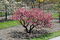 Garden Sun Peach (Prunus persica 'Garden Sun') at Roger's Gardens