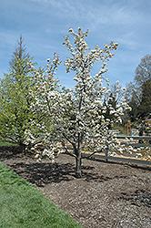 Chojuro Asian Pear (Pyrus pyrifolia 'Chojuro') at Roger's Gardens