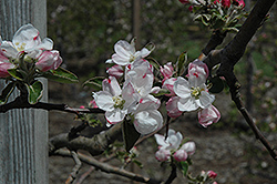 Gravenstein Apple (Malus 'Gravenstein') at Roger's Gardens