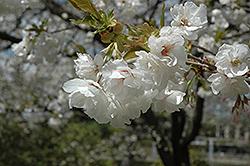 Mt. Fuji Flowering Cherry (Prunus serrulata 'Mt. Fuji') at Roger's Gardens