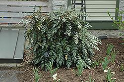 Japanese Mahonia (Mahonia japonica) at Roger's Gardens