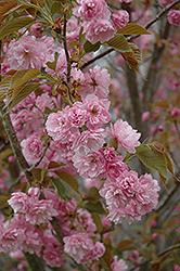 Sekiyama Flowering Cherry (Prunus serrulata 'Sekiyama') at Roger's Gardens