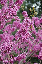 Avondale Redbud (Cercis chinensis 'Avondale') at Roger's Gardens