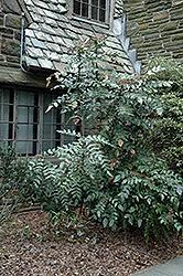 Leatherleaf Mahonia (Mahonia bealei) at Roger's Gardens