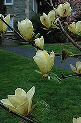 Golden Sun Magnolia (Magnolia 'Golden Sun') at Roger's Gardens