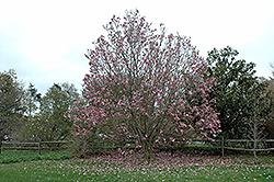 Galaxy Magnolia (Magnolia 'Galaxy') at Roger's Gardens