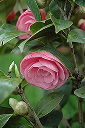 Pearl Maxwell Camellia (Camellia japonica 'Pearl Maxwell') at Roger's Gardens