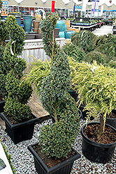 Green Mountain Boxwood (spiral form) (Buxus 'Green Mountain (spiral)') at Roger's Gardens