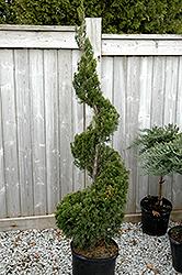 Spartan Juniper (spiral) (Juniperus chinensis 'Spartan (spiral)') at Roger's Gardens