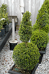 Green Mountain Boxwood (poodle form) (Buxus 'Green Mountain (poodle)') at Roger's Gardens