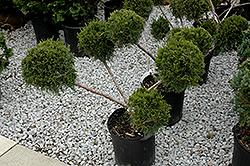 San Jose Juniper (pom pom) (Juniperus chinensis 'San Jose (pom pom)') at Roger's Gardens