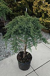 Dwarf Japanese garden Juniper (tree form) (Juniperus procumbens 'Nana (tree form)') at Roger's Gardens