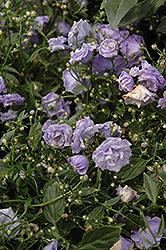 Blue Wonder Creeping Bellflower (Campanula cochleariifolia 'Blue Wonder') at Roger's Gardens