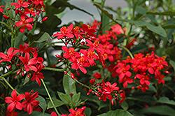 Compact Peregrina (Jatropha integerrima 'Compacta') at Roger's Gardens