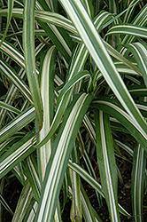 Cabaret Maiden Grass (Miscanthus sinensis 'Cabaret') at Roger's Gardens