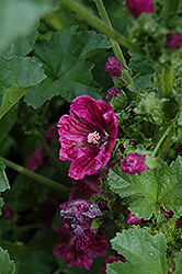 Purple Satin Mallow (Malva sylvestris 'Purple Satin') at Roger's Gardens