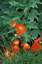 Summer Breeze Orange Poppy (Papaver 'Summer Breeze Orange') at Roger's Gardens