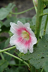 Halo Blush Hollyhock (Alcea rosea 'Halo Blush') at Roger's Gardens
