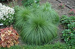Prairie Dropseed (Sporobolus heterolepis) at Roger's Gardens