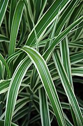 Cosmopolitan Maiden Grass (Miscanthus sinensis 'Cosmopolitan') at Roger's Gardens
