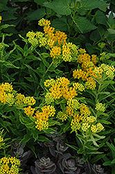 Hello Yellow Milkweed (Asclepias tuberosa 'Hello Yellow') at Roger's Gardens