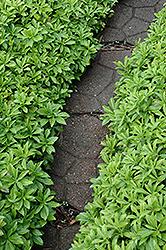 Green Carpet Japanese Spurge (Pachysandra terminalis 'Green Carpet') at Roger's Gardens