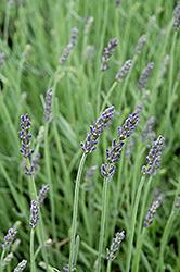 Silver Mist Lavender (Lavandula angustifolia 'Silver Mist') at Roger's Gardens